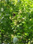 English Holly (Mahonia nervosa)
