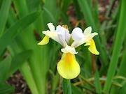 Yellow-flag Iris (Iris pseudacorus)