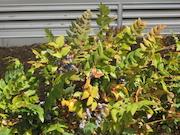 Dull Oregon Grape (Mahonia nervosa)