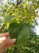 Black Cottonwood Poplar (Populus balsamifera spp. trichocarpa)