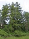 Douglas-fir (Pseudotsuga menziesii)